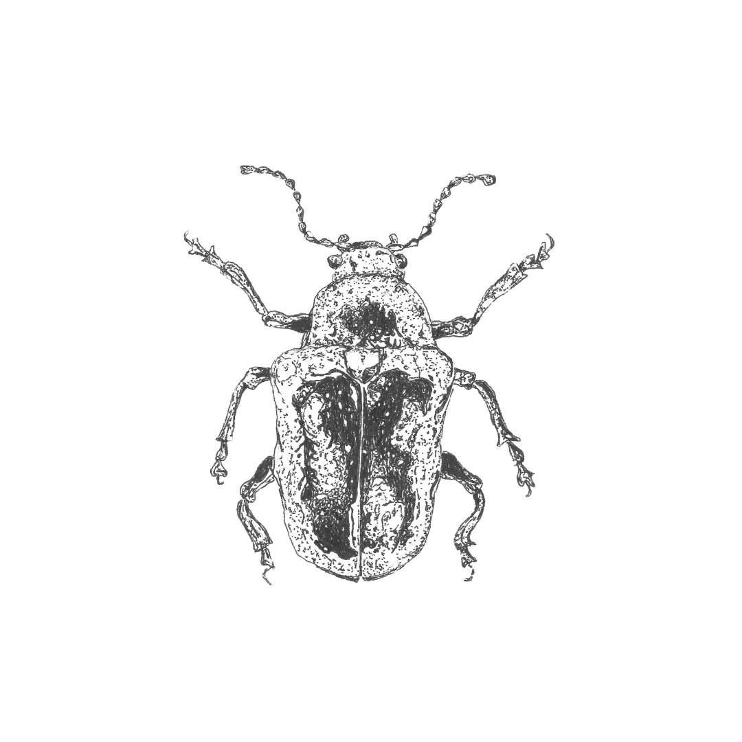 ink drawing: beetle print