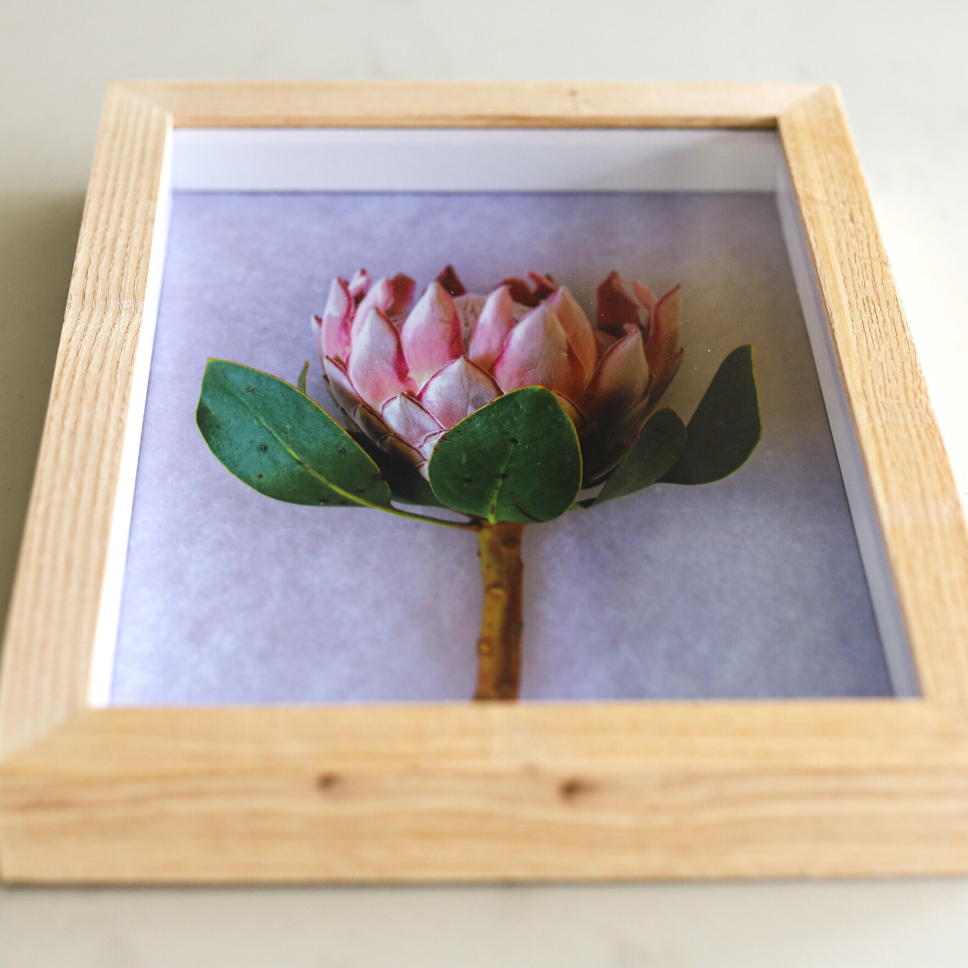 framed print: king protea