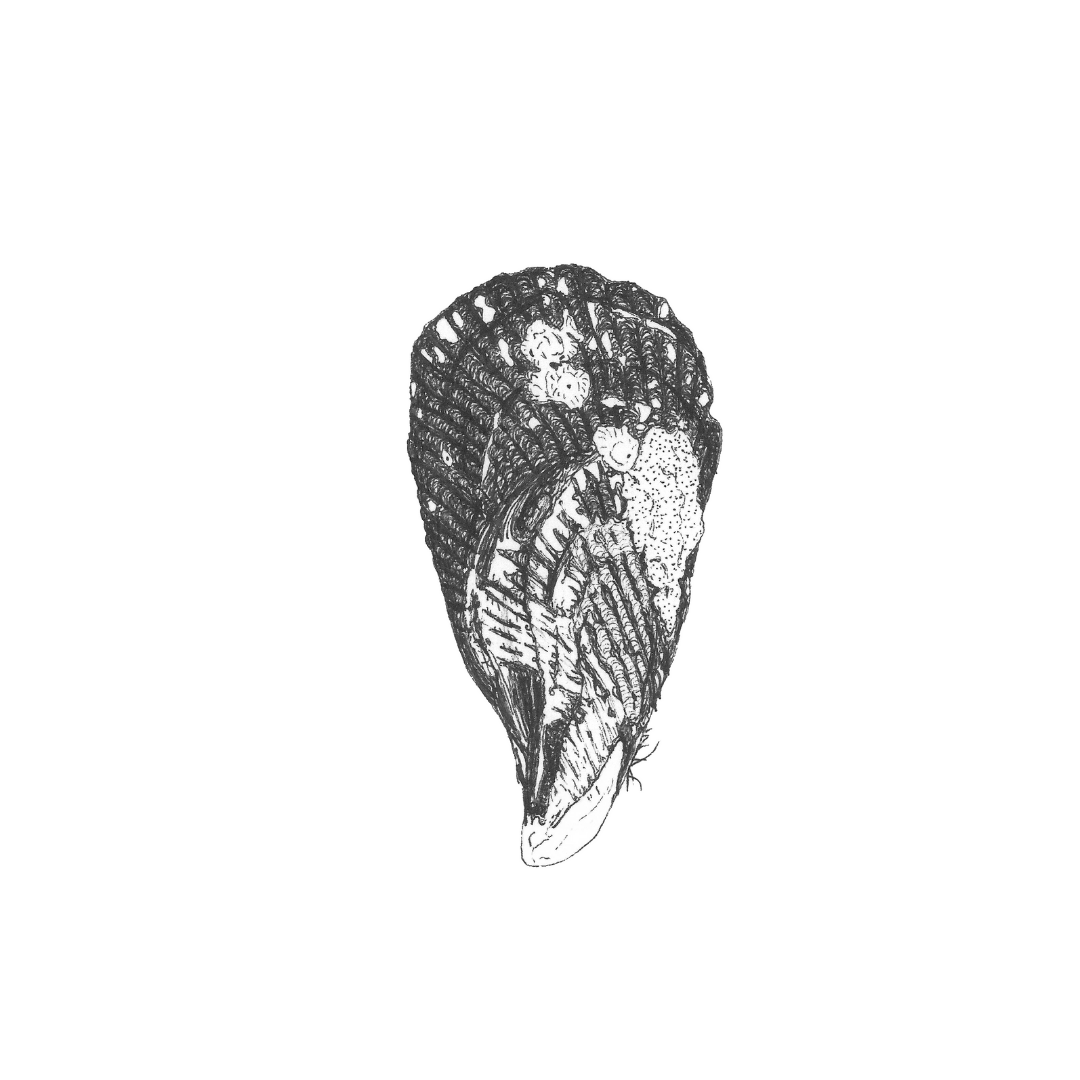 ink drawing: mussel print