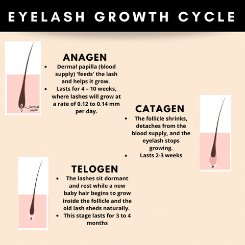 infographic of the eyelash growth cycle