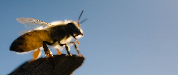 The Lone Bee - Saving Bees from Colony Collapse