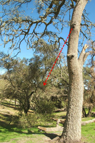 TheraBee Honey Free Bee Swarm Removal in an Atascadero Oak Tree