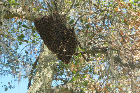 TheraBee Honey Bee Swarm Removal in an Atascadero Oak Tree