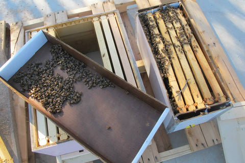 Transferring a Bee Swarm from the TheraBee Swarm Nuk to a Hive