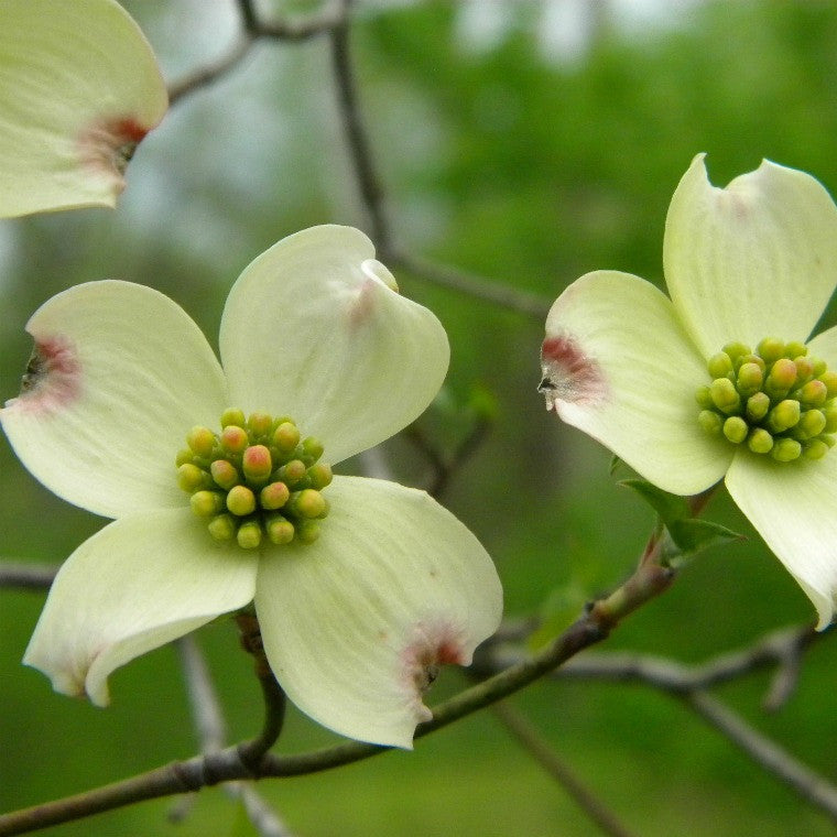 Virginia - Flowering Dogwood