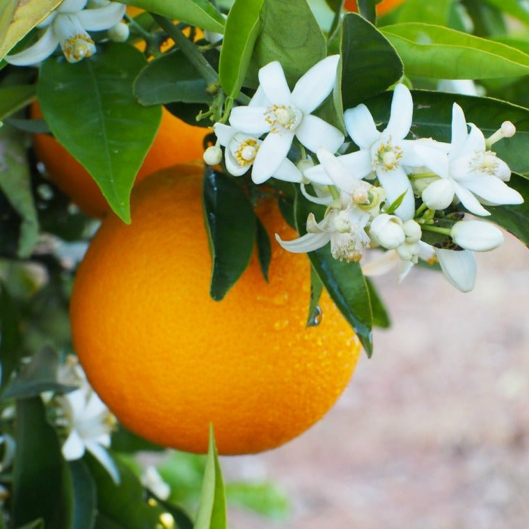 Very Vero (Orange Blossom) - The Columbia Fragrance Co.
