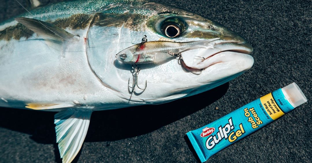 Gulp gel rub on scent with a kingfish