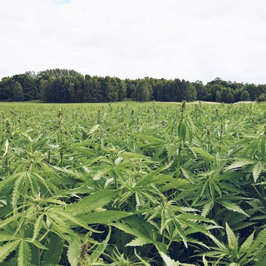 Neurogan Hemp Field