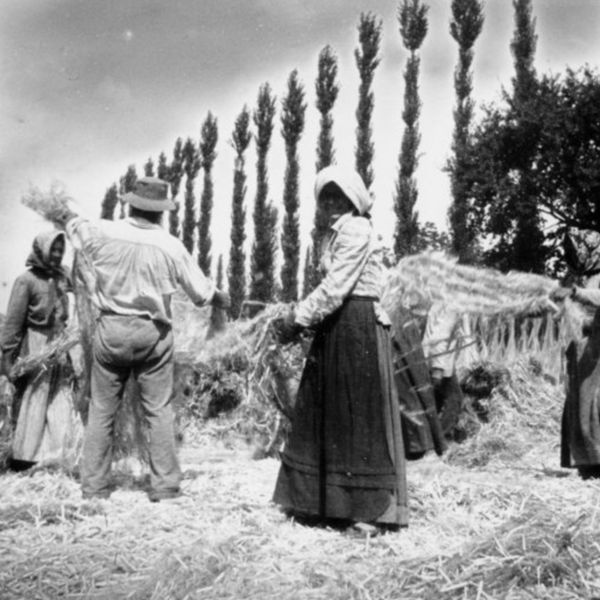 Historical black and white image cultivating hemp