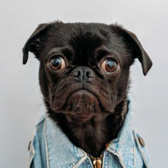 Black pug wearing clothes shot by Charles Deluvio