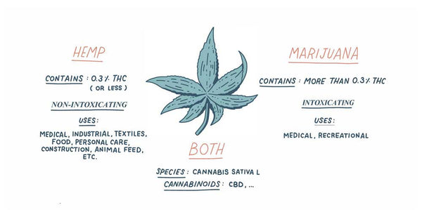 Hemp and marijuana infographic showing differences between the two plants