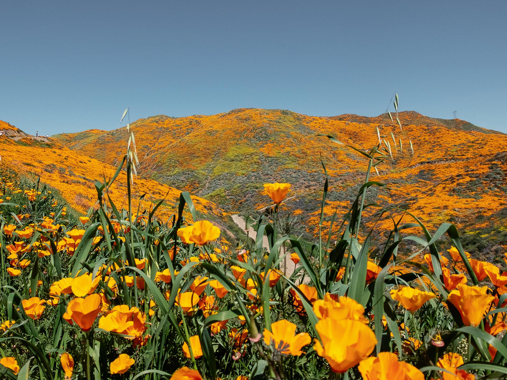 Poppy flower field in california overlooking hills