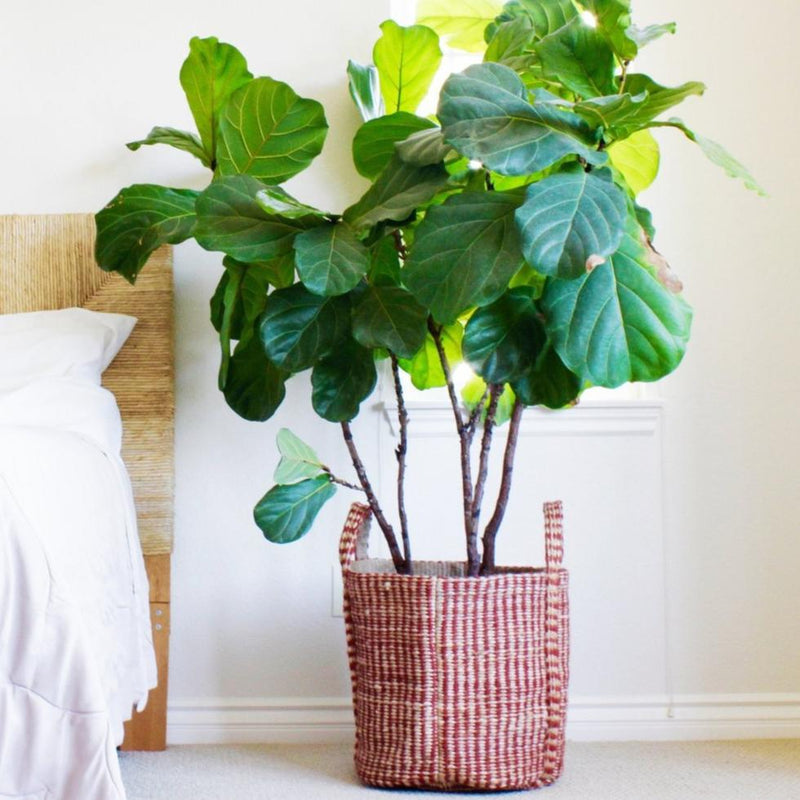 Hemp Home Decor Basket with fig tree inside by Svn Space.