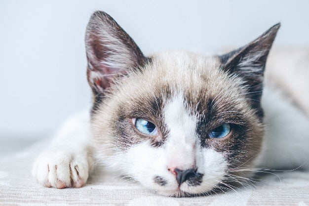 What Can I Give my Cat for Pain Relief