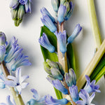 Blue hyacinthus detail.