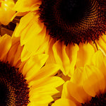 Sunflowers detail.