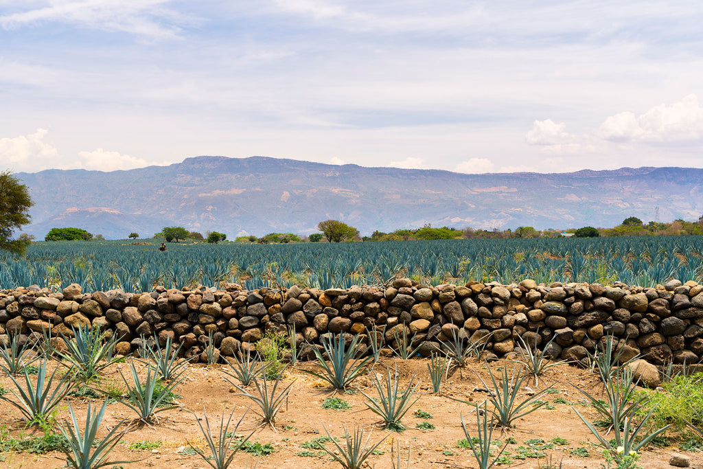 The Tequila Valley in Meixco.