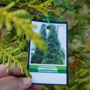 Arborvitae 'Green Giant' - Advanced Nursery Growers