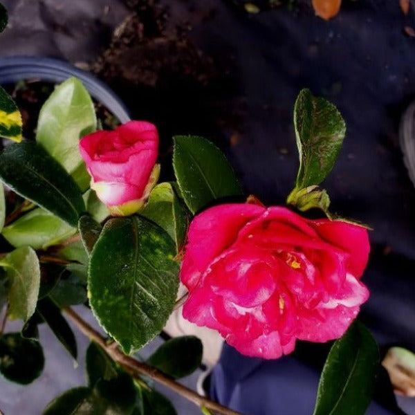 Camellia Gunsmoke - Advanced Nursery Growers