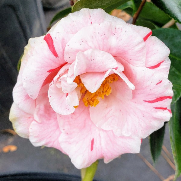 Camellia Betty Shefield