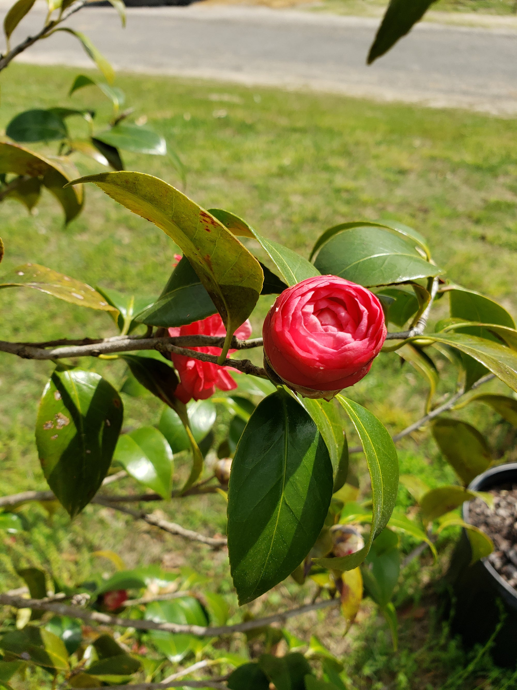Camellia - Advanced Nursery Growers