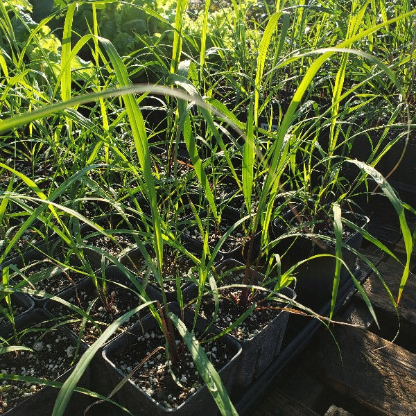 Grass-LEMON GRASS