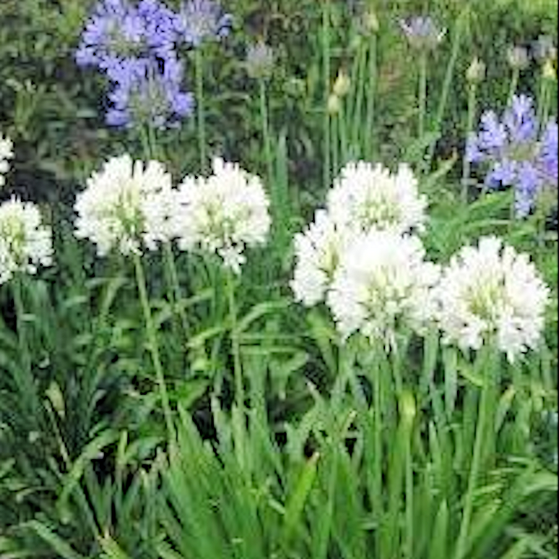 Lily-Agapanthus alba - Advanced Nursery Growers