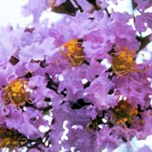The Apalachee Crape Myrtle is one of the NEWEST varieties from the National Arboretum in Washington, DC is the  Apalachee Crape Myrtle .