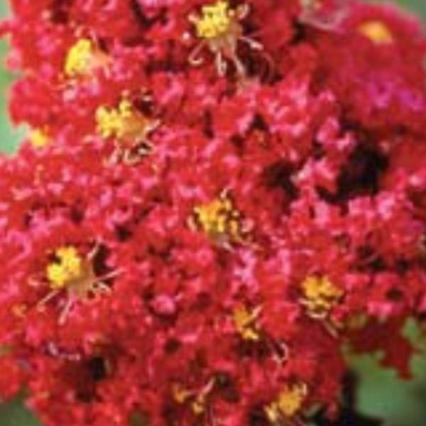 CM-Arapaho Crape Myrtle AR - Advanced Nursery Growers