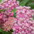 Asclepias Monarch Rose