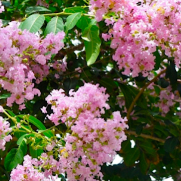 Basham's Party Pink Crape Myrtle
