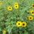 "Beach Sunflower "" Helianthus debilis"""