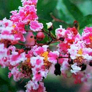 CM-Bicolor Picotee Crape Myrtle BI - Advanced Nursery Growers