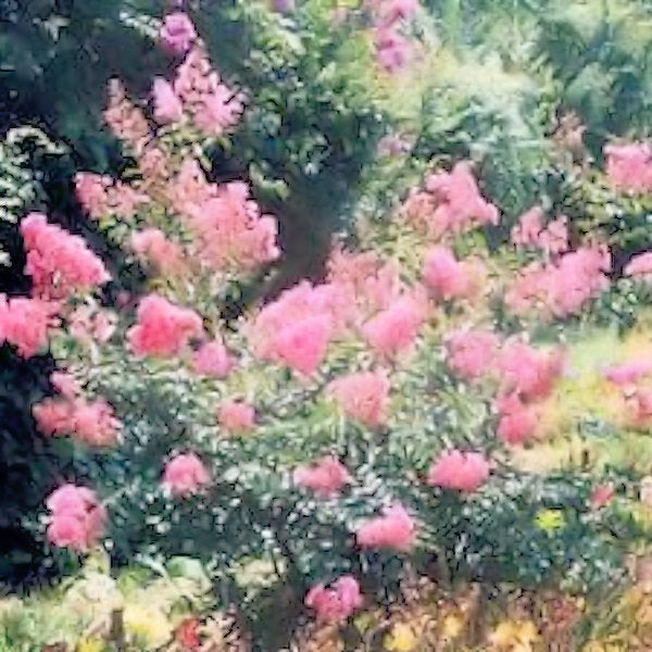 CM-Caddo Crape Myrtle ( CAD ) - Advanced Nursery Growers