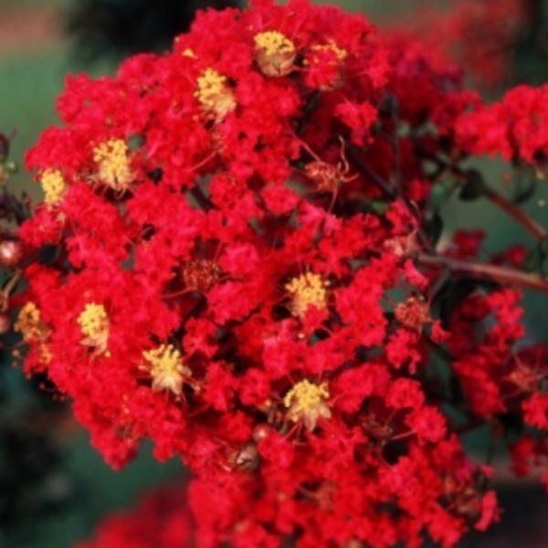 CM-Carolina Red Crape Myrtle ( CR ) - Advanced Nursery Growers