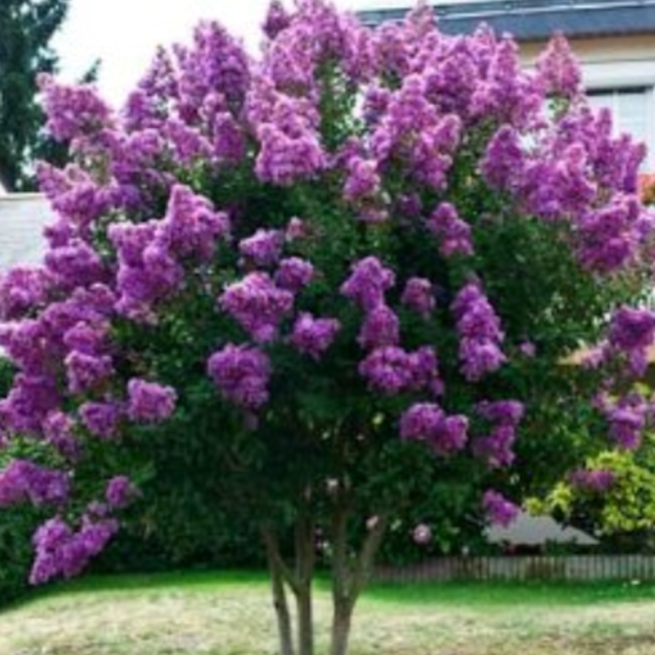 The Catawba Crape Myrtle has purple flowers.The flower are a cross between a black and a violet color.