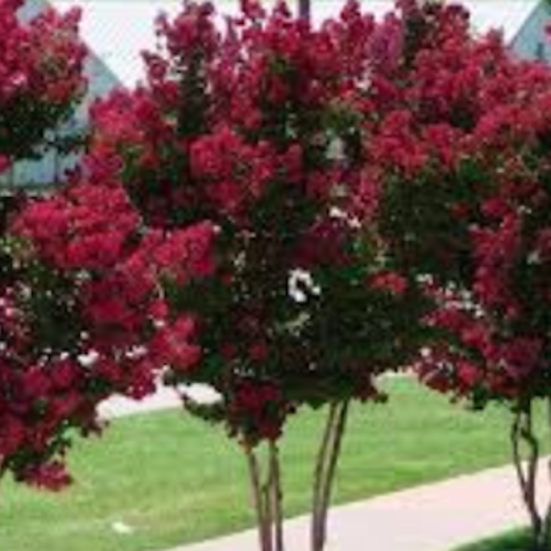 CM-Cherokee Crape Myrtle ( CHER ) - Advanced Nursery Growers