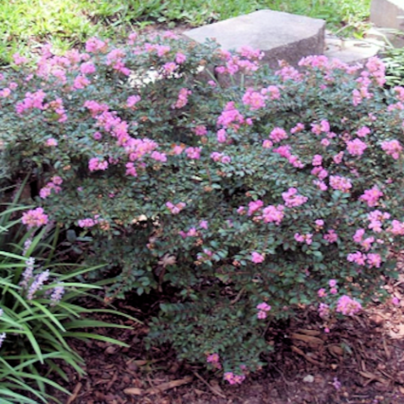 CM-Chicasaw Crape Myrtle ( CHI ) - Advanced Nursery Growers