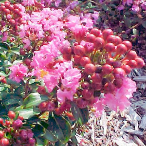Chicasaw Crape Myrtle ( CHI ) - Advanced Nursery Growers