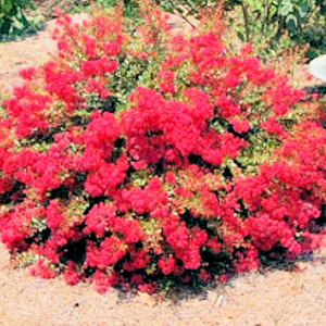 CM-Chisam Fire Crape Myrtle ( CF ) - Advanced Nursery Growers
