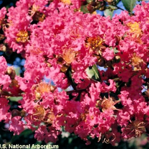 CM-Comanche Crape Myrtle ( CO ) - Advanced Nursery Growers