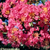 The Sioux Crape Myrtle will impress you with it's rich deep pink blossoms and maroon red fall foliage.