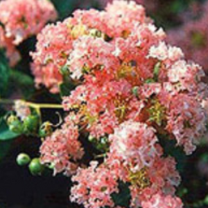 CM-Delta Blush Crape Myrtle ( DB ) - Advanced Nursery Growers