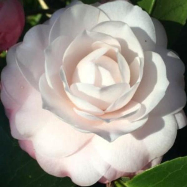 Camellia Doris Ellis - Advanced Nursery Growers