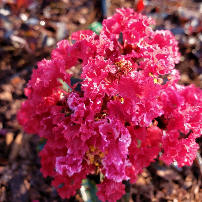 CM-Double Dynamite Crape Myrtle ( DD ) by Carl Whitcomb - Advanced Nursery Growers