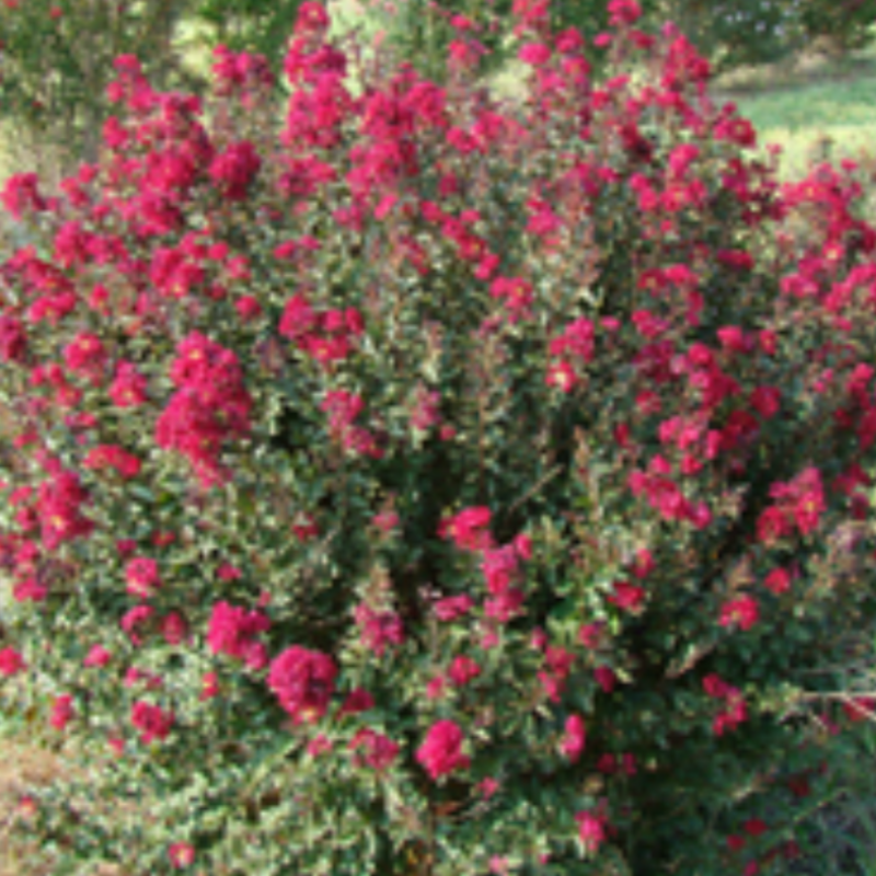 CM-Crape Myrtle Double Feature ( DF ) by Carl Whitcomb - Advanced Nursery Growers