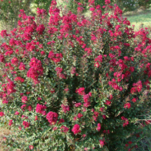 Crape Myrtle Double Feature ( DF ) by Carl Whitcomb