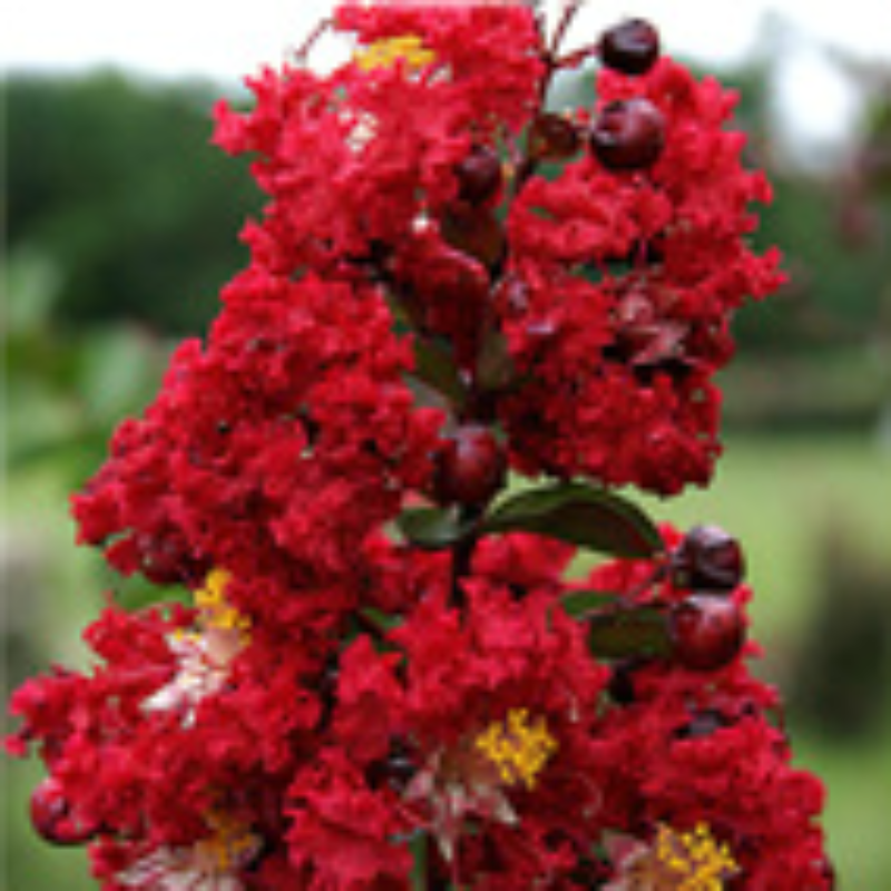 CM-Dynamite Crape Myrtle ( DY ) by Carl Whitcomb - Advanced Nursery Growers