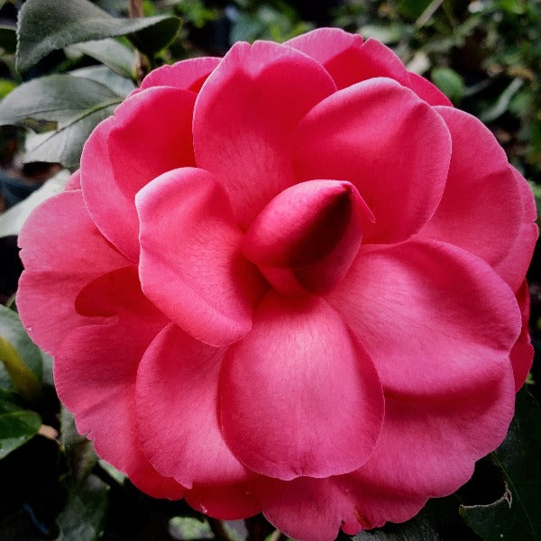Camellia Early Autumn - Advanced Nursery Growers