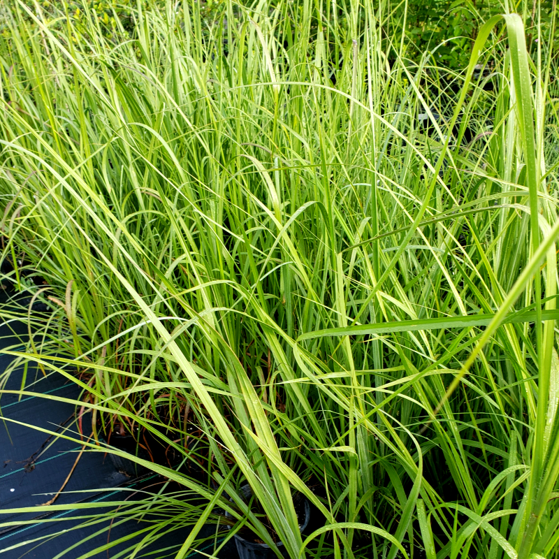 Grass-Fakahatchee - Advanced Nursery Growers